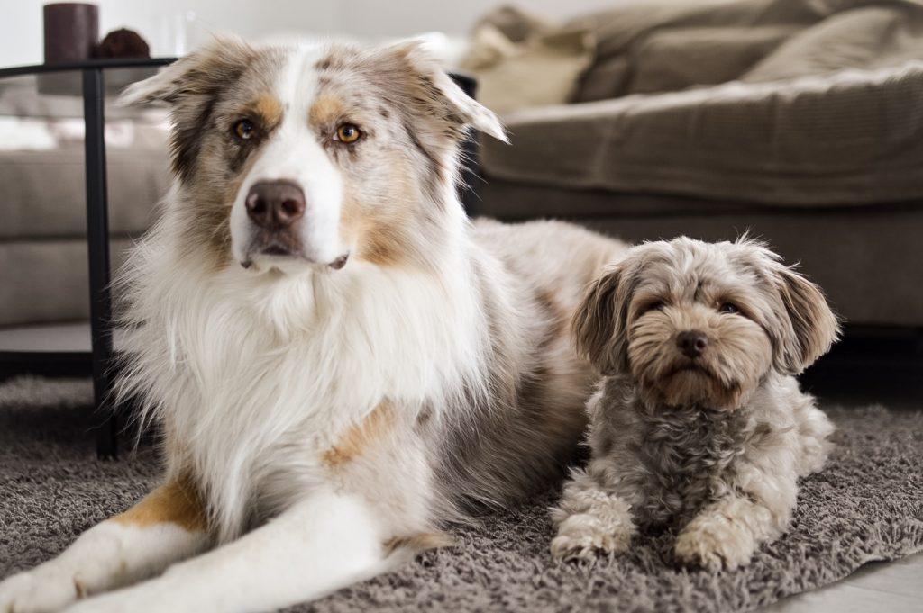 Klein vs. Groß – Geht der Trend zu kleinen Hunden?