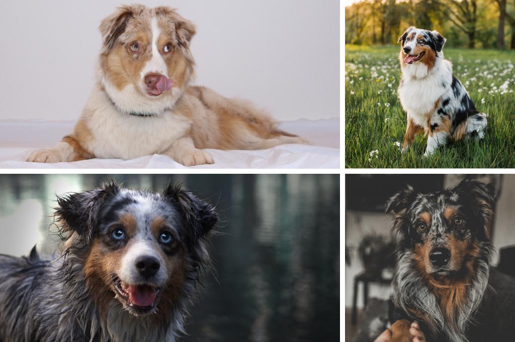Ist der Australian Shepherd als Ersthund geeignet? – Erfahrungsberichte